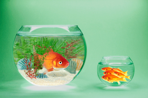 Green Background「Rich and poor goldfish in contrasting goldfish bowls」:スマホ壁紙(16)