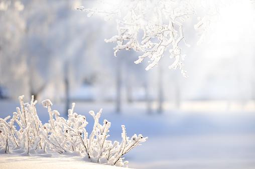 落葉樹「木々が雪で覆われたローズ」:スマホ壁紙(18)