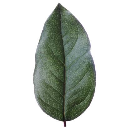 Fruit Tree「Lemon tree leaf against white background, close-up」:スマホ壁紙(17)