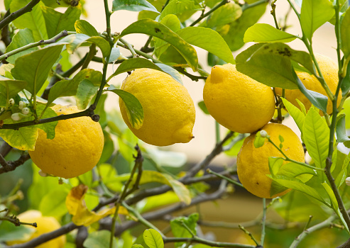Branch - Plant Part「Lemon tree」:スマホ壁紙(14)