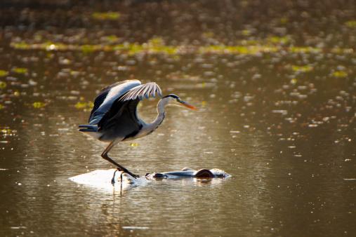 カバ「Grey Heron & Hippopotamus, Mana Pools NP, Zimbabwe」:スマホ壁紙(10)
