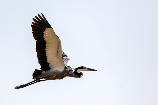 Lake Baringo「Grey Heron in flight over Lake Baringo.」:スマホ壁紙(15)