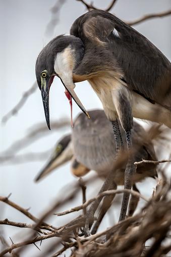 Lake Baringo「Grey Heron mother regurgitating meat.」:スマホ壁紙(6)