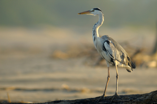Beak「Grey Heron (Area cinerea) standing on driftwood log on beach, St Lucia, Kwazulu-Natal, South Africa」:スマホ壁紙(9)