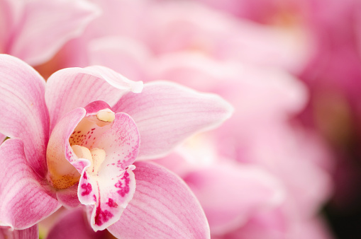 Extreme Close-Up「Pink blooming Cymbidium orchids」:スマホ壁紙(4)