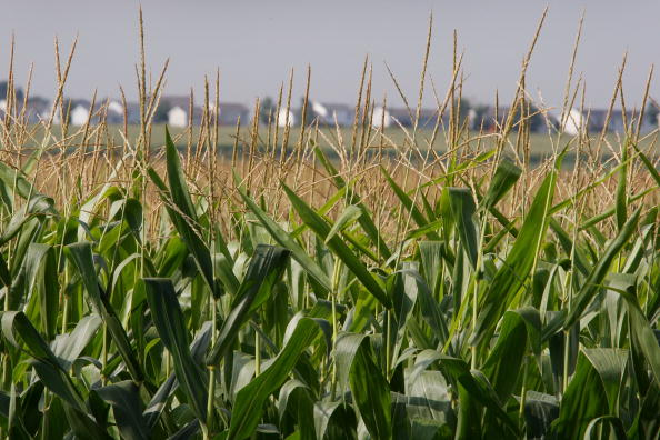 Agricultural Field「Yearly Corn Production Estimate Increased By USDA」:写真・画像(3)[壁紙.com]