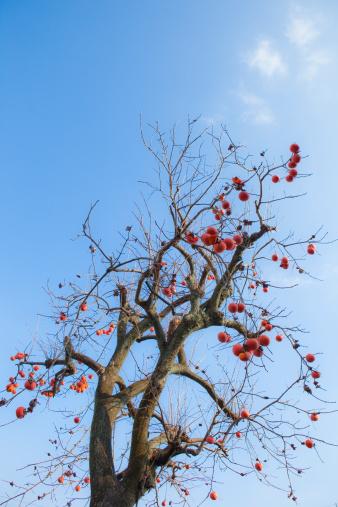 柿「Kaki Tree」:スマホ壁紙(4)