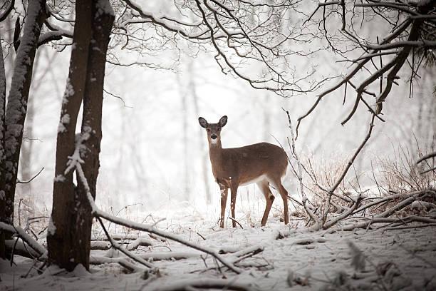 Doe standing at edge of woods:スマホ壁紙(壁紙.com)