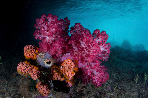 Soft Coral「A soft coral colony and invertebrates in Raja Ampat, Indonesia.」:スマホ壁紙(1)