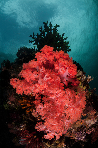 Soft Coral「A soft coral colony grows on a reef slope in Indonesia.」:スマホ壁紙(6)