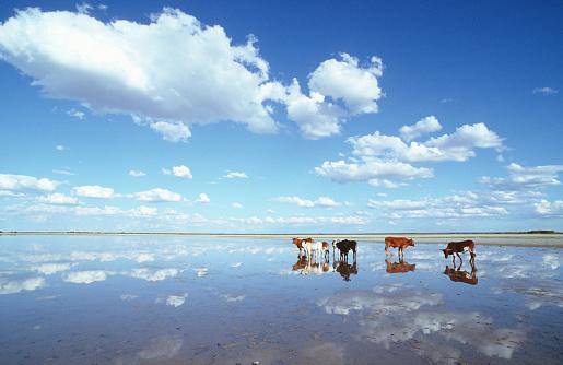 ボツワナ「Cattle on flooded salt pan, Kalahari Desert, Botswana」:スマホ壁紙(18)