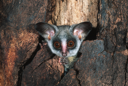 Arboreal Animal「Southern lesser bushbaby, Galago moholi, sometimes uses tree holes for shelter, southern central Africa.」:スマホ壁紙(9)