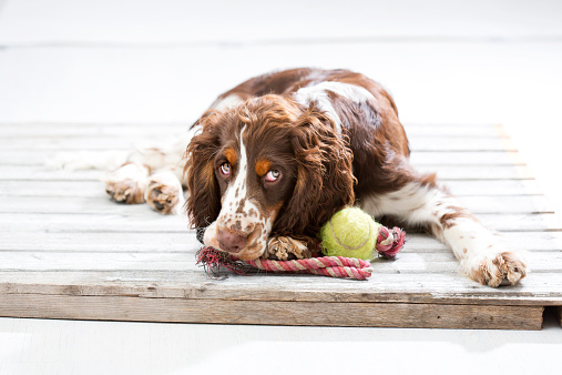 Baby animal「English Springer Spaniel puppy lying on wooden pallet with his dog toys」:スマホ壁紙(9)