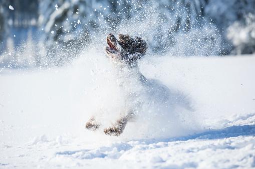 Enjoyment「English Springer Spaniel running on snow-covered meadow」:スマホ壁紙(15)
