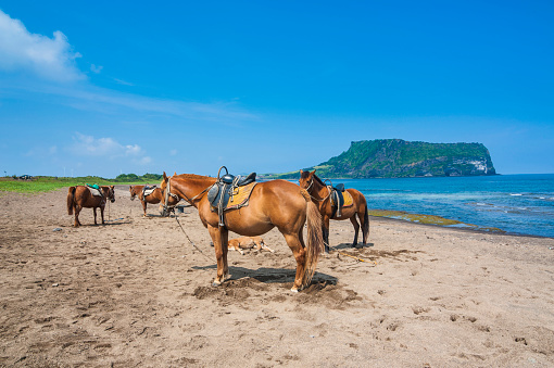 済州島「Horses (Equus ferus caballus) on sandy beach by Ilchulbong tuff cone, Sunrise Peak, Jejudo, South Korea」:スマホ壁紙(6)