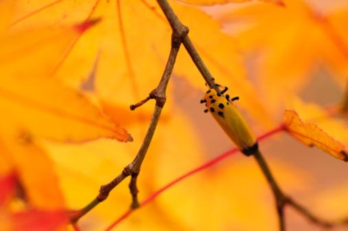 Japanese Maple「Black-tipped Leafhopper on a maple tree」:スマホ壁紙(10)