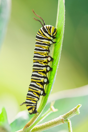 Struggle「Monarch caterpillar crawling on leaf」:スマホ壁紙(4)