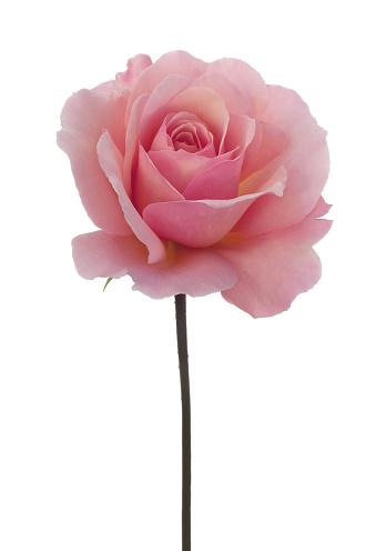 Sensory Perception「Rosa 'Congratulations' with stem on white.」:スマホ壁紙(16)
