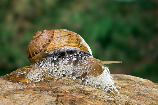 snails「Helix aspersa maxima (brown garden snail) - producing a defensive froth of mucus」:スマホ壁紙(7)