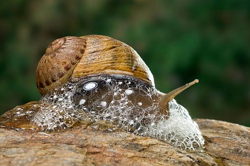 snails「Helix aspersa maxima (brown garden snail) - producing a defensive froth of mucus」:スマホ壁紙(5)