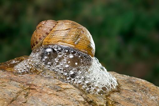 snails「Helix aspersa maxima (brown garden snail) - producing a defensive froth of mucus」:スマホ壁紙(19)