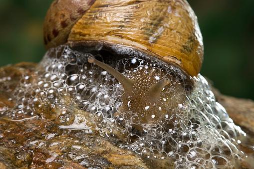 snails「Helix aspersa maxima (brown garden snail) - producing a defensive froth of mucus」:スマホ壁紙(4)