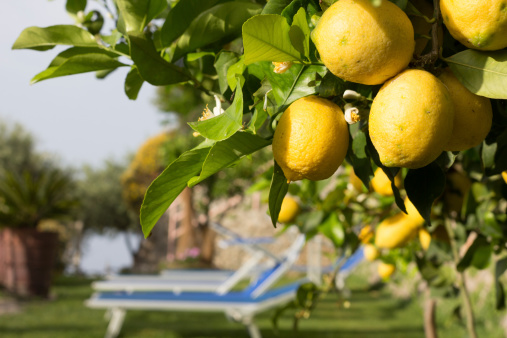 Grove「Lemons on Amalfi Coast, Italy」:スマホ壁紙(17)