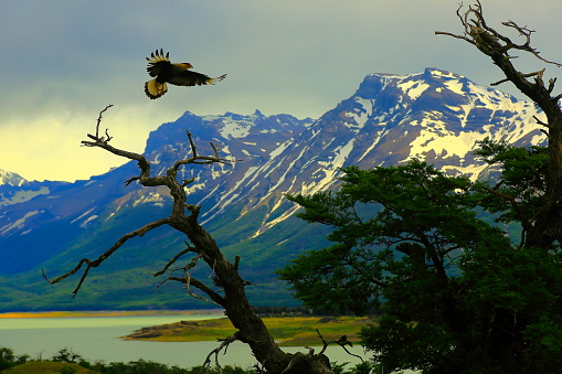 Hawk - Bird「Hawk flying, Patagonia Argentina near El Calafate, Perito Moreno Glacier」:スマホ壁紙(19)