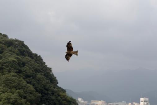Hawk - Bird「Hawk flying above town, dusk」:スマホ壁紙(6)