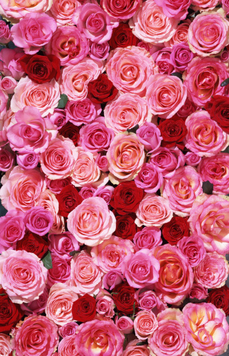 Valentine's Day「Bed of roses XXLarge」:スマホ壁紙(1)