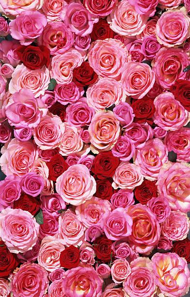 ベッドのバラ XXL:スマホ壁紙(壁紙.com)