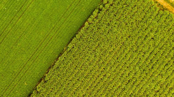 Sugar Cane「Aerial drone photo of sugarcane plantation」:スマホ壁紙(10)