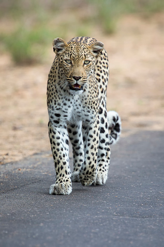Kitten「A female leopard, Panthera pardus, patrolling her territory - Kruger National Park South Africa」:スマホ壁紙(9)