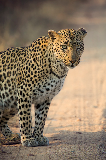 Kitten「A female leopard, Panthera pardus, patrolling her territory - Kruger National Park South Africa」:スマホ壁紙(2)