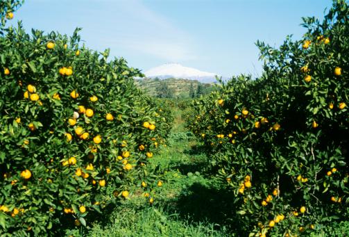 Citrus Fruit「Italy, Sicily, Lemon orchard」:スマホ壁紙(14)