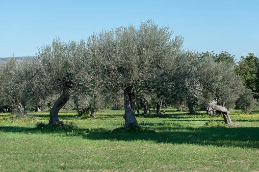 Grove「Italy, Sicily, olive trees」:スマホ壁紙(8)