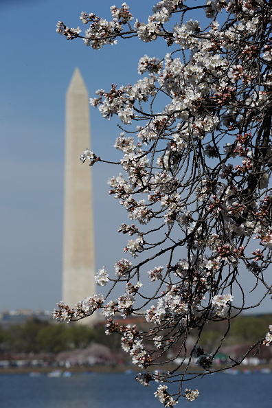 桜「Cherry Blossoms Begin To Bloom In Washington, DC」:写真・画像(8)[壁紙.com]