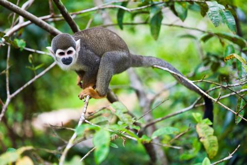Amazon Rainforest「Squirrel Monkey From The Amazon」:スマホ壁紙(12)