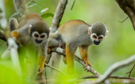 アマゾン熱帯雨林「リス猿」:スマホ壁紙(2)