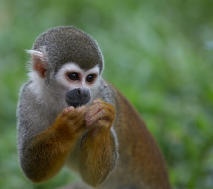 Amazon Rainforest「Squirrel Monkeys (Saimiri sciureus)」:スマホ壁紙(2)