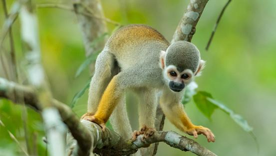 アマゾン熱帯雨林「リス猿」:スマホ壁紙(3)