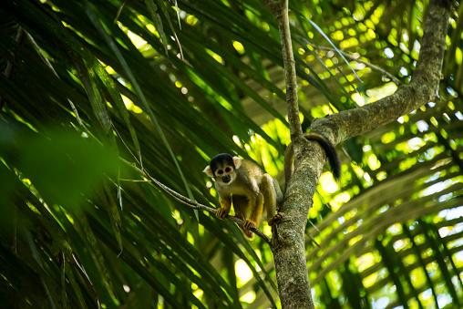 Amazon Rainforest「Squirrel Monkey」:スマホ壁紙(15)