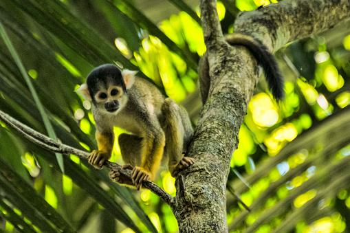 Amazon Rainforest「Squirrel Monkey」:スマホ壁紙(19)