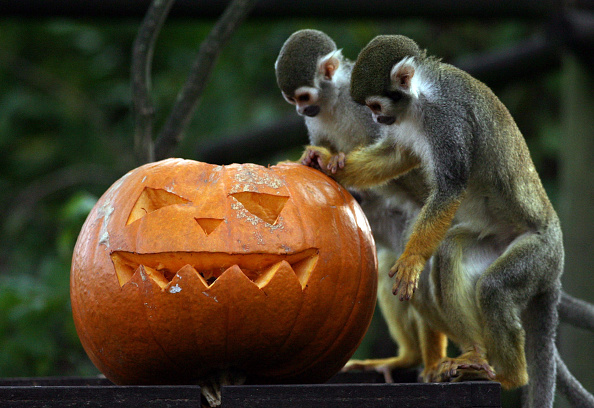 Animal「Animals Get Into The Spirit Of Halloween At Bristol Zoo Gardens」:写真・画像(0)[壁紙.com]