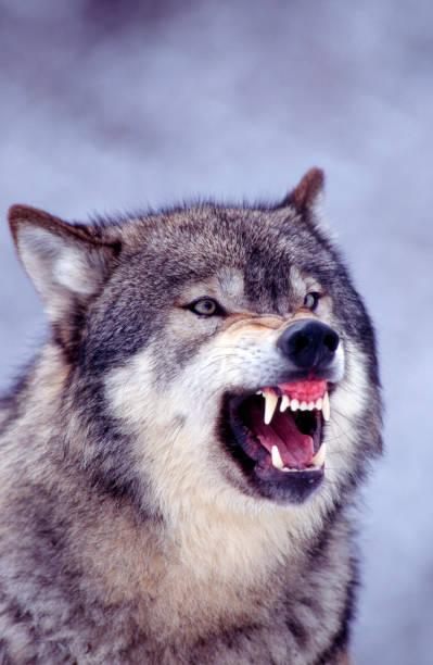 Gray Wolf Snarling:スマホ壁紙(壁紙.com)