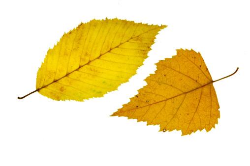 Deciduous tree「Autumn leafs」:スマホ壁紙(7)