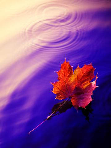 かえでの葉「オータムリーフ水に浮かぶ」:スマホ壁紙(18)