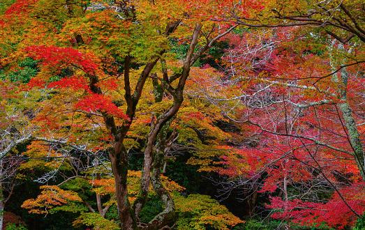 紅葉「秋のリーフ 」:スマホ壁紙(10)