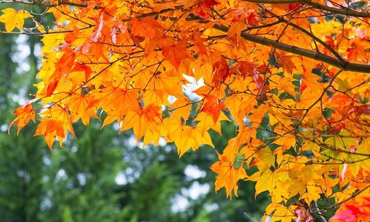 Japanese Maple「Autumn Leaf」:スマホ壁紙(9)