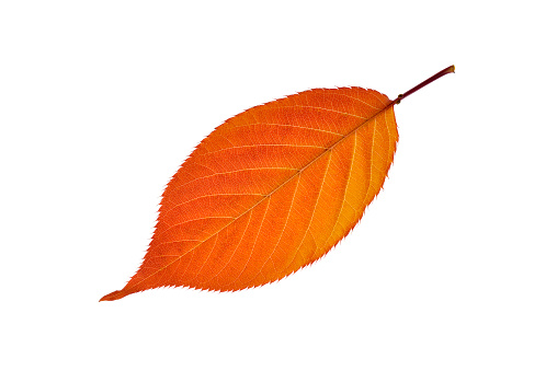 桜「Autumn leaf of cherry tree in front of white background」:スマホ壁紙(6)